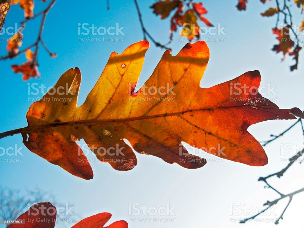 Red oak leaves on the tree branch stock photo
