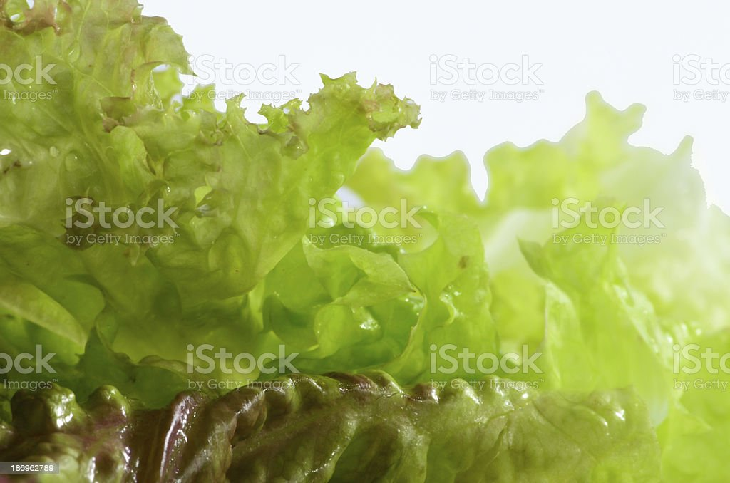 Red Oakleaf Lettuce royalty-free stock photo