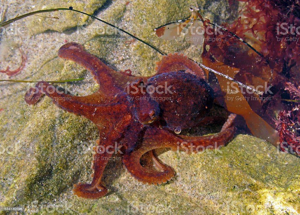 Red Octopus, Octopus rubescens stock photo
