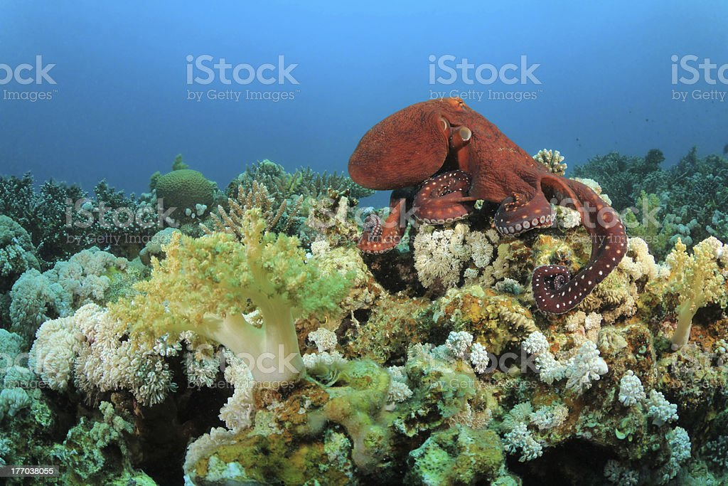 Red octopus resting peacefully on a coral reef stock photo