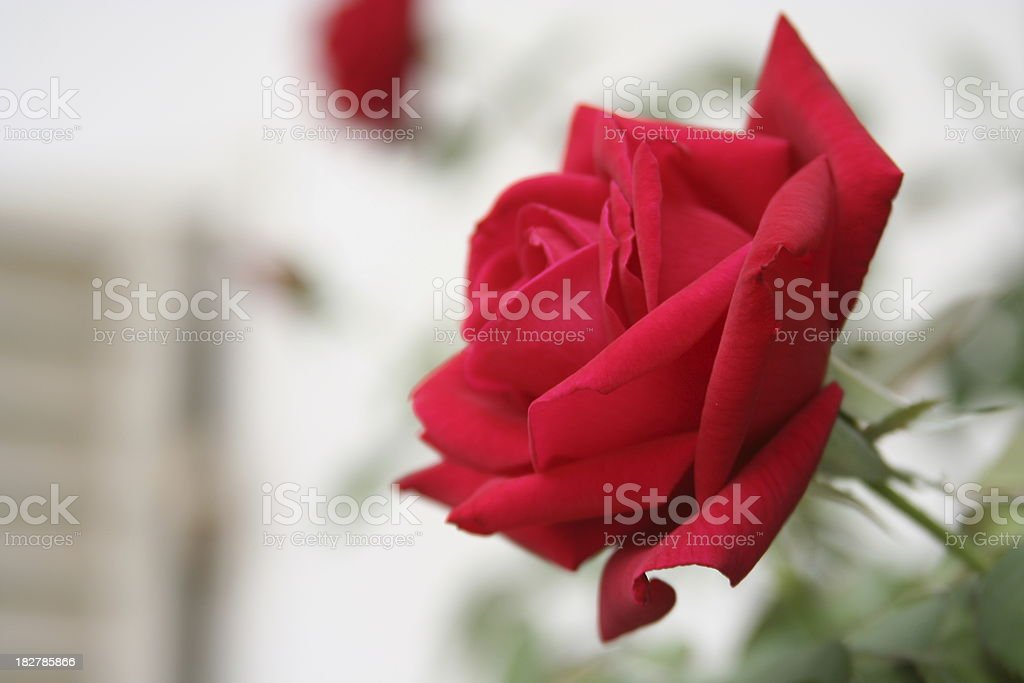 red Oklahoma rose on blurry background royalty-free stock photo