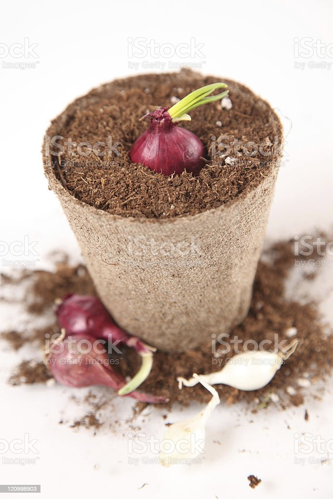 Red Onion Plant stock photo