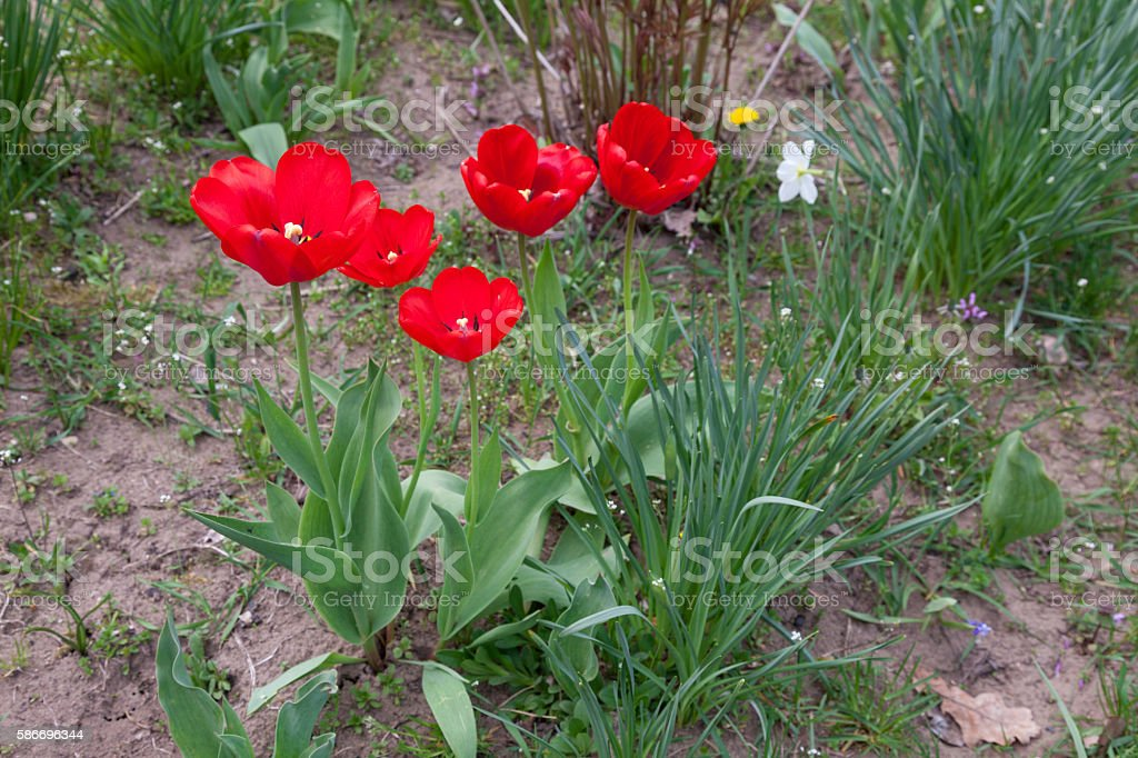 Red open tulips in the garden stock photo
