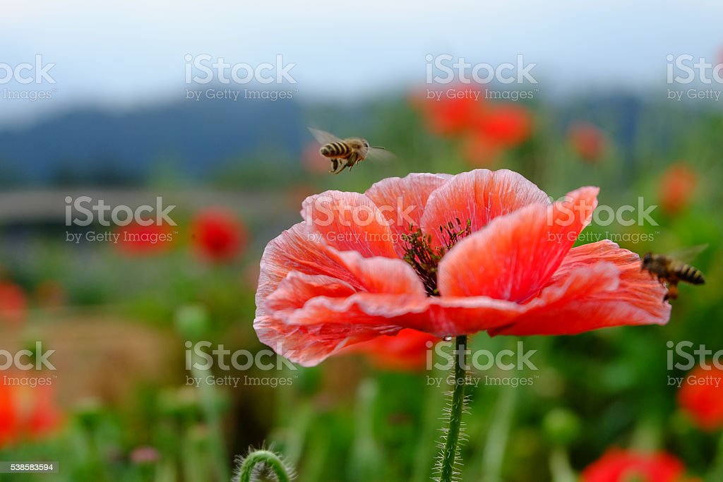 red opium poppy flower with bees stock photo