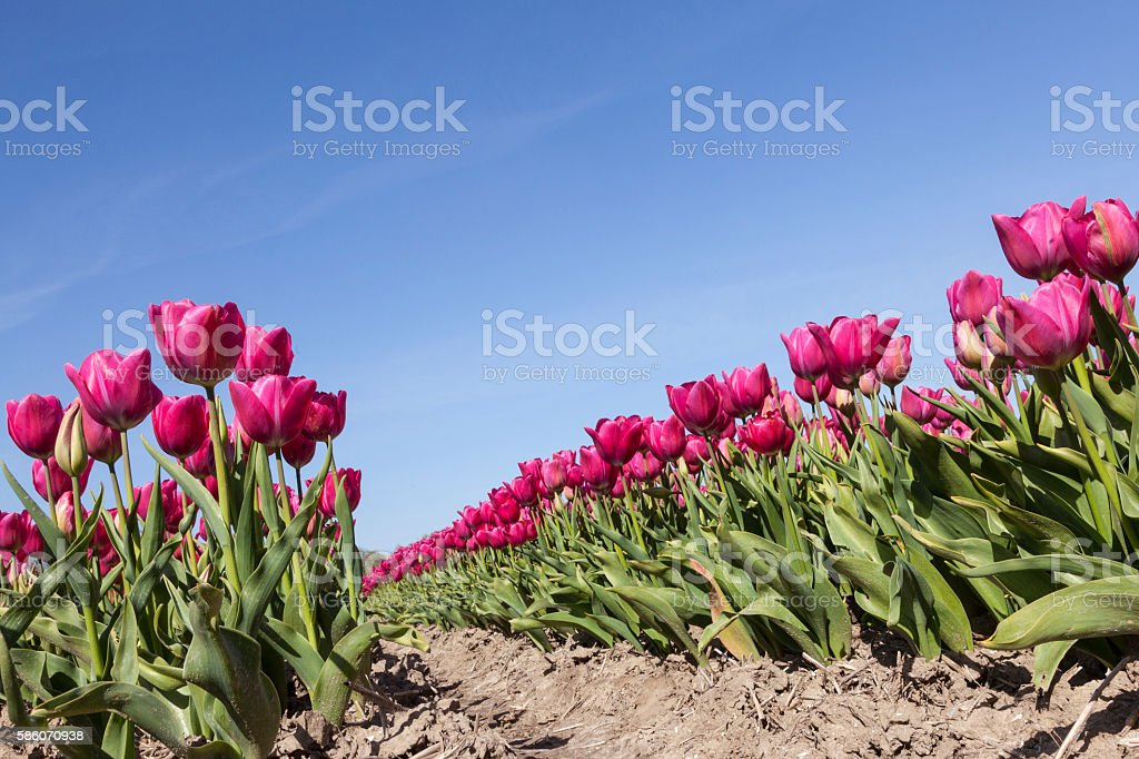 red or pink tulips in dutch flower field blue sky stock photo