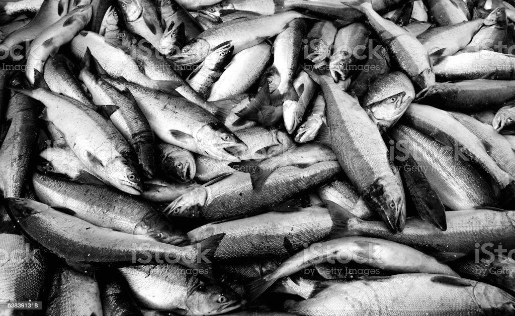 Red or Sockeye Salmon stock photo