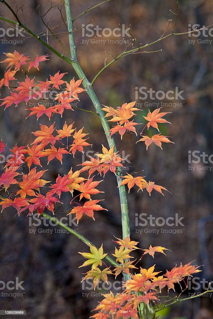 Red orange autumn leaves stock photo