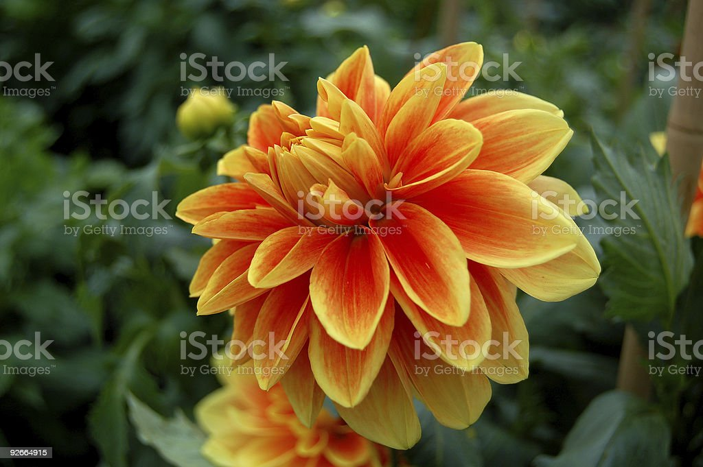 red orange dahlia, with flowers in background stock photo