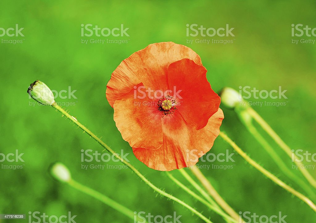 Red orange poppy royalty-free stock photo