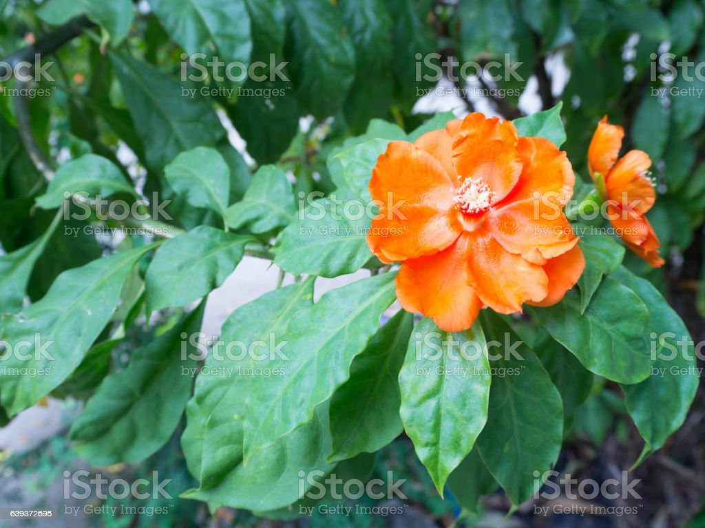 Red Orange wax rose flower with green leaves (Pereskia bleo) stock photo