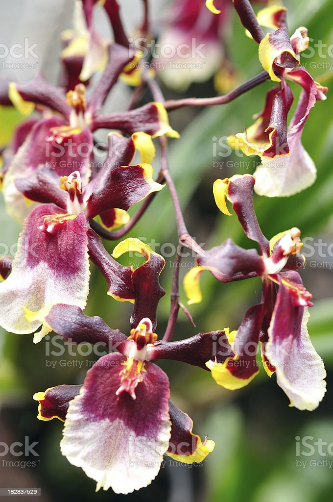Red orchid flowers royalty-free stock photo
