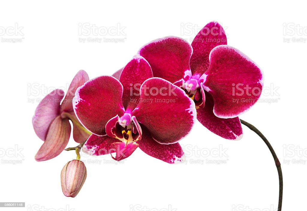 Red orchid on white background stock photo