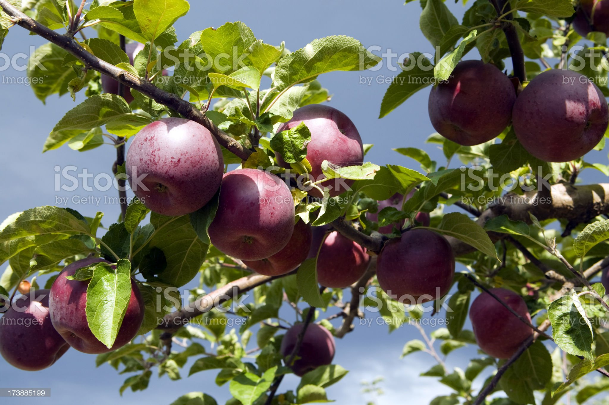 red organic spartan apple tree orchard royalty-free stock photo