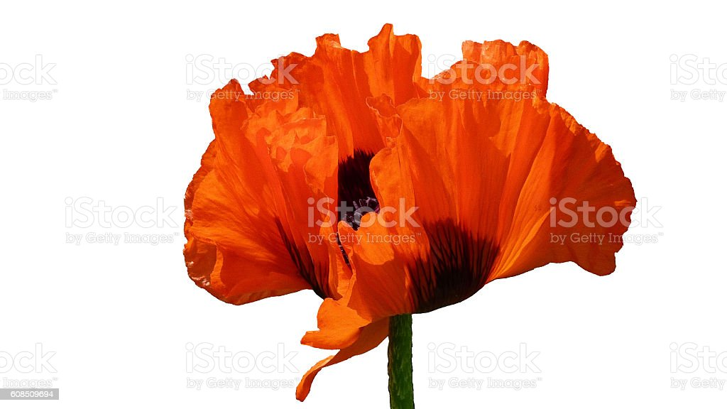 Red Oriental Poppy flower, isolated stock photo