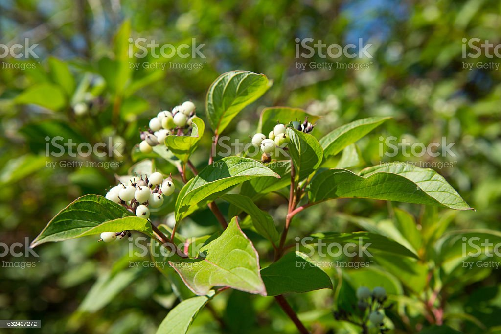 Red osier dogwood tree with white berries in summer stock photo