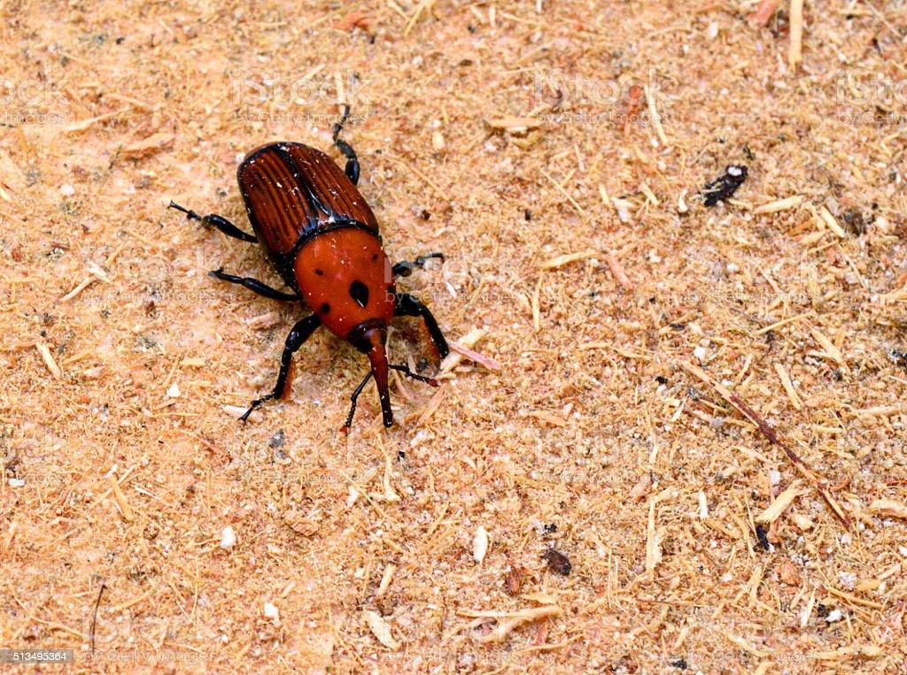 Red palm weevil - Rhynchophorus ferrugineus stock photo