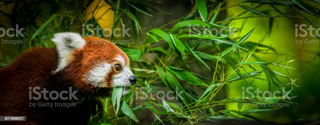 Red panda eating bamboo leaves - wildlife banner stock photo