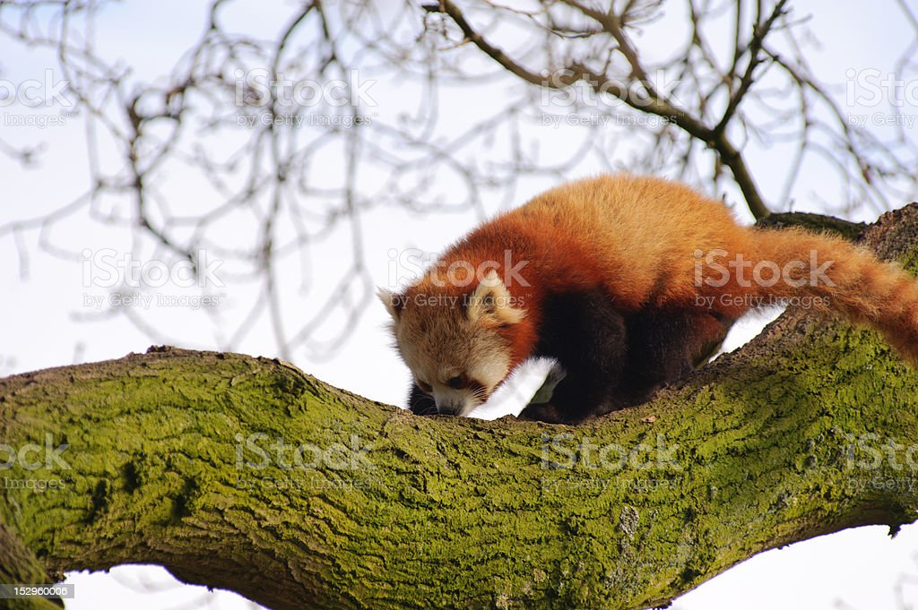 Red panda in tree stock photo