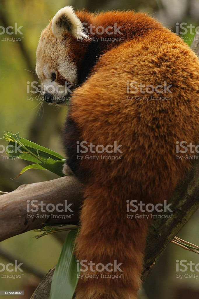Red panda royalty-free stock photo