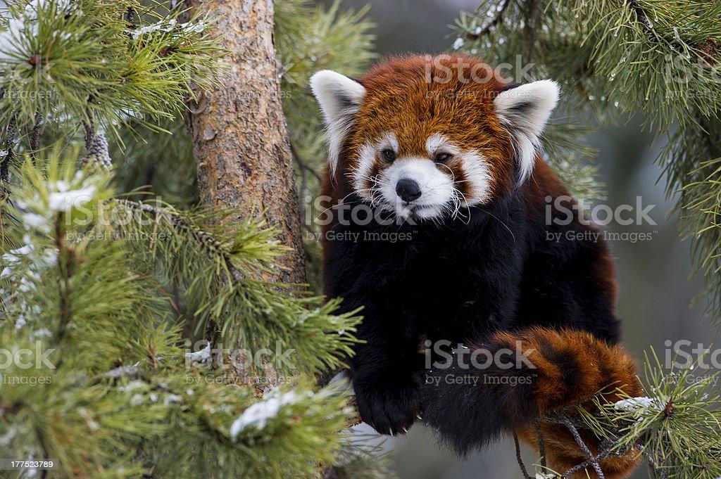 Red Panda royalty-free stock photo