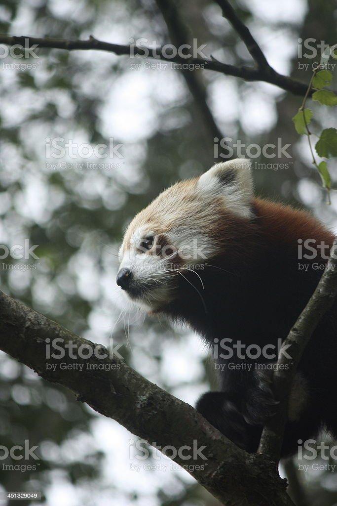 Panda rojo foto de stock libre de derechos