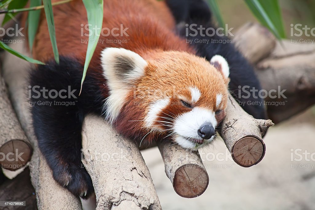 Red panda (firefox) stock photo