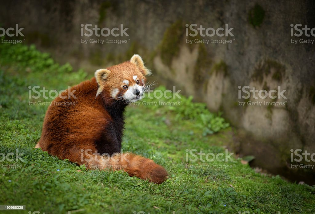 Red panda sitting at the bottom of a wall stock photo
