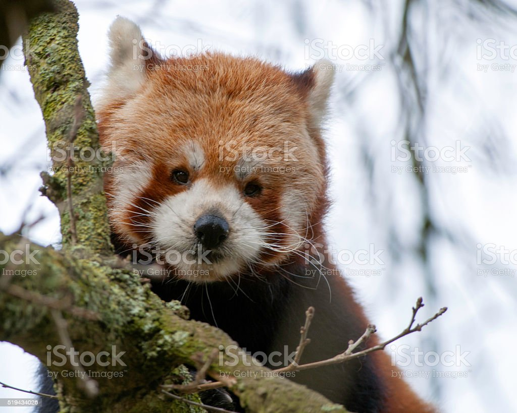 Red Panda Watches stock photo