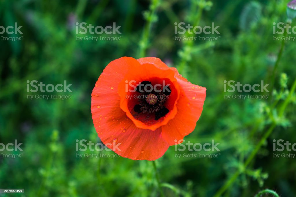 red Papaver rhoeas in a field stock photo
