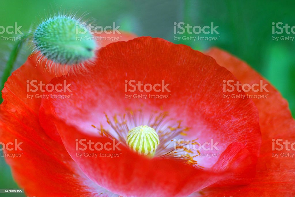 Red Papaver rhoeas stock photo