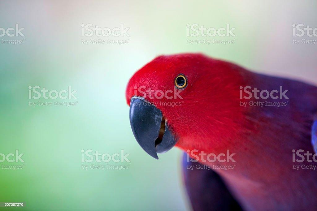 Red parrot, Chattering Lory (Lorius garrulus) stock photo