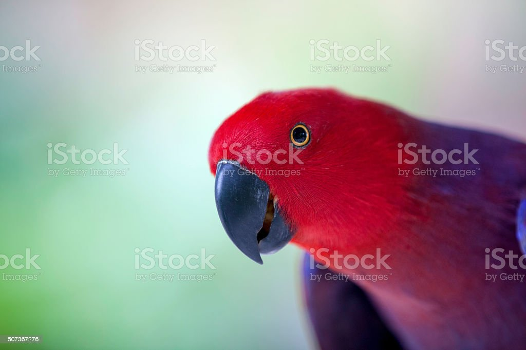 Red parrot, Chattering Lory (Lorius garrulus) stock photo