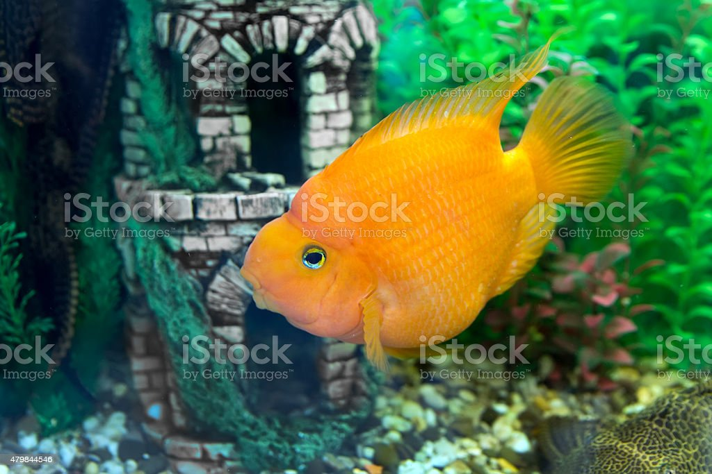Red parrot fish stock photo