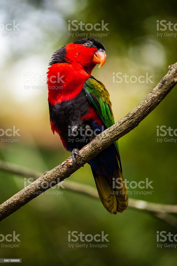 Red Parrot in Bogor, Indonesia stock photo