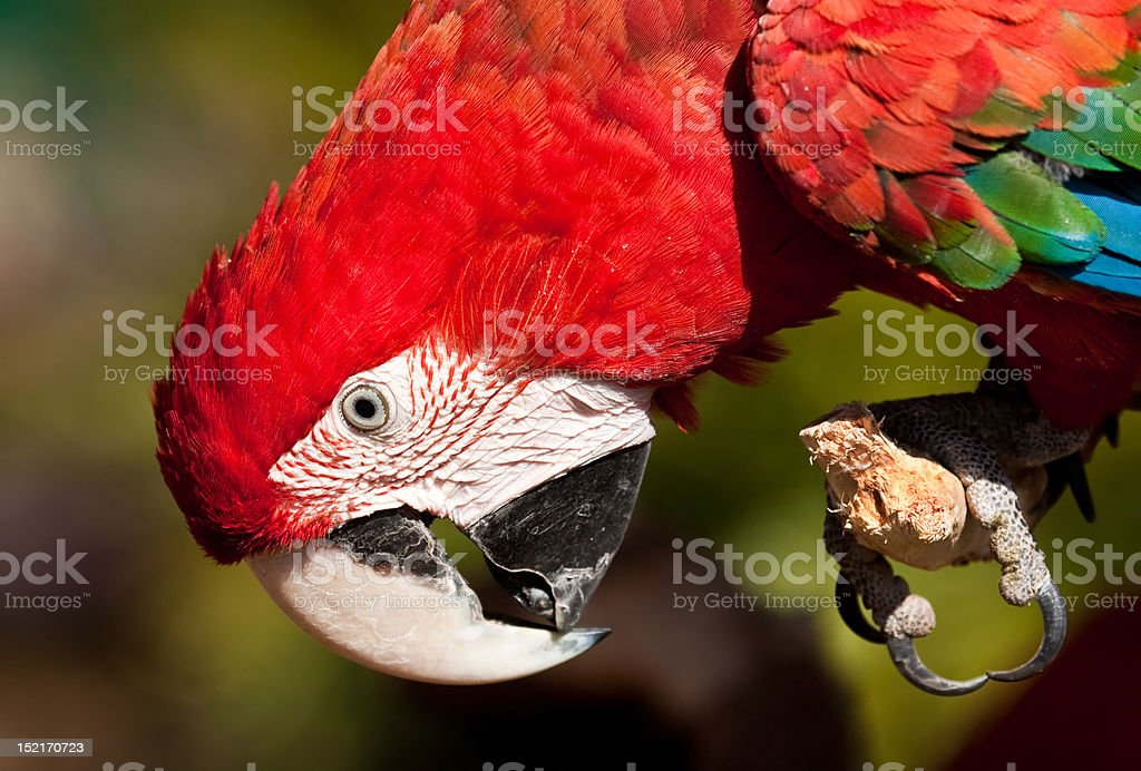 Red Parrot inspecting its claws royalty-free stock photo