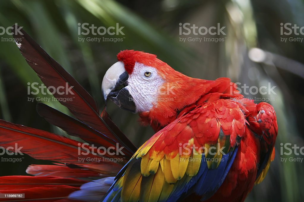 red parrot royalty-free stock photo