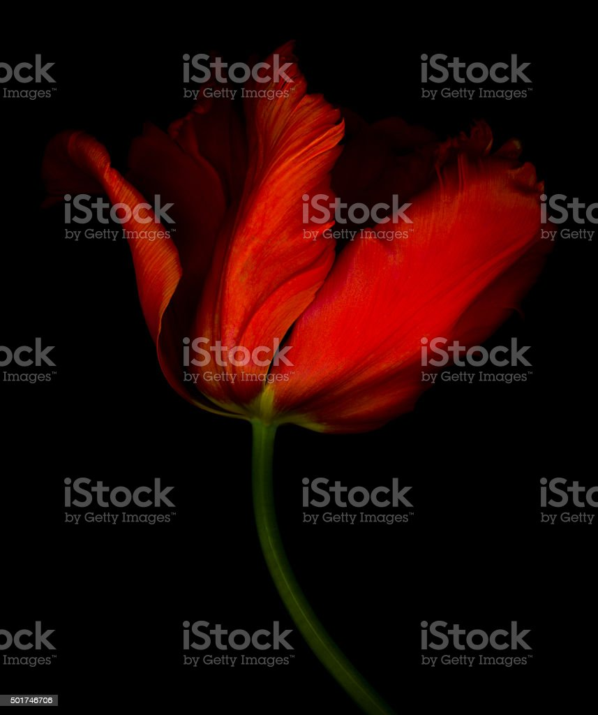 XXXL: Red parrot tulip isolated against a black background stock photo
