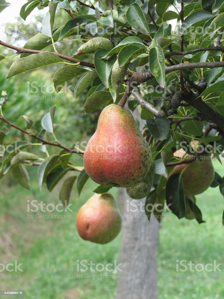 Red pears hanging on the tree . Tuscany, Italy stock photo