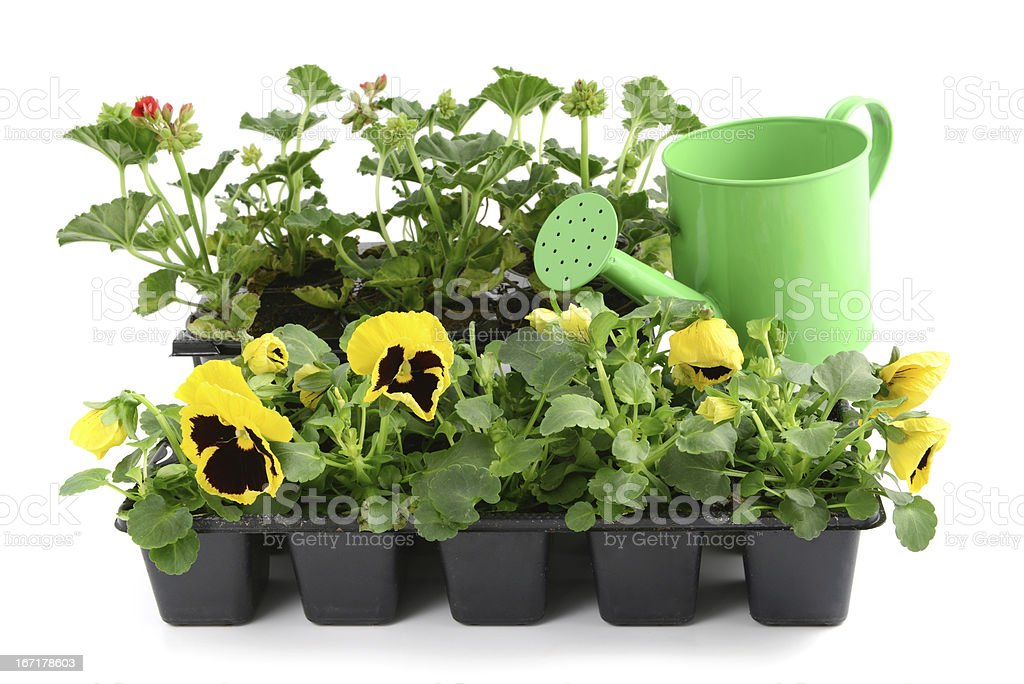 red Pelargonium (Cransbill) and yellow pansy with water can royalty-free stock photo