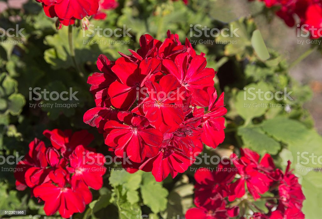 Red pelargonium closeup lit by the sun. Flowers and gardens stock photo