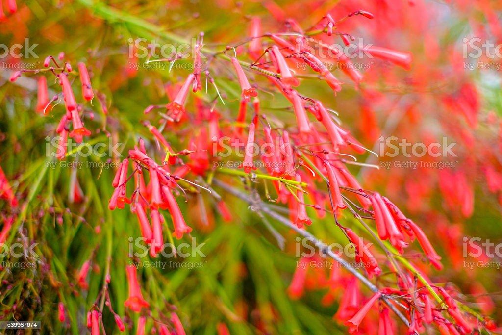 Red Penstemon flowers stock photo