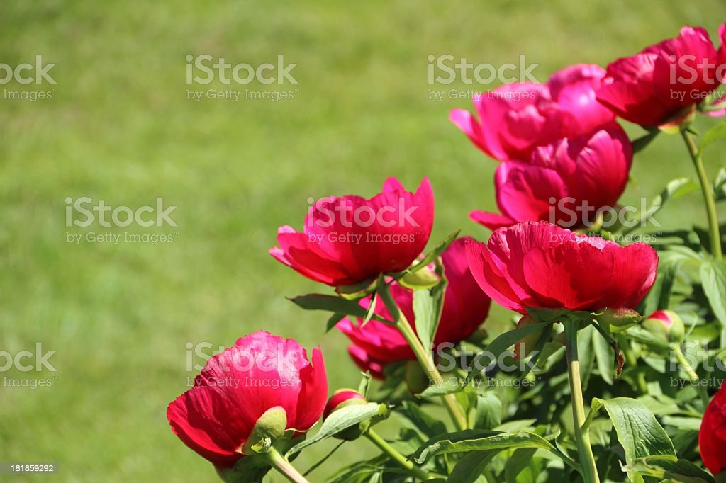 Red peonies royalty-free stock photo