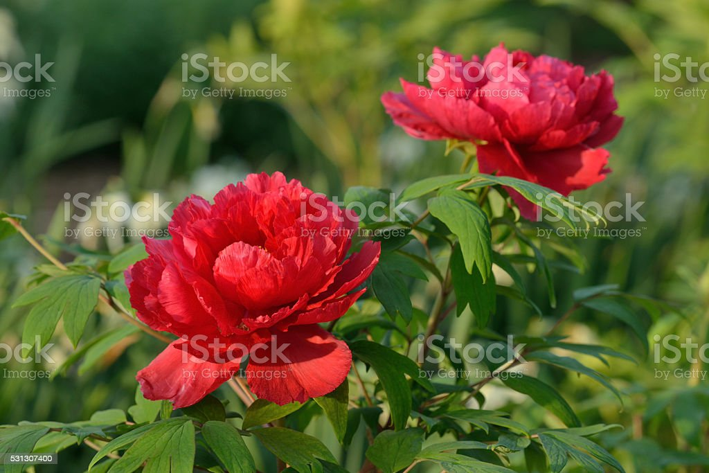 Red Peonies stock photo