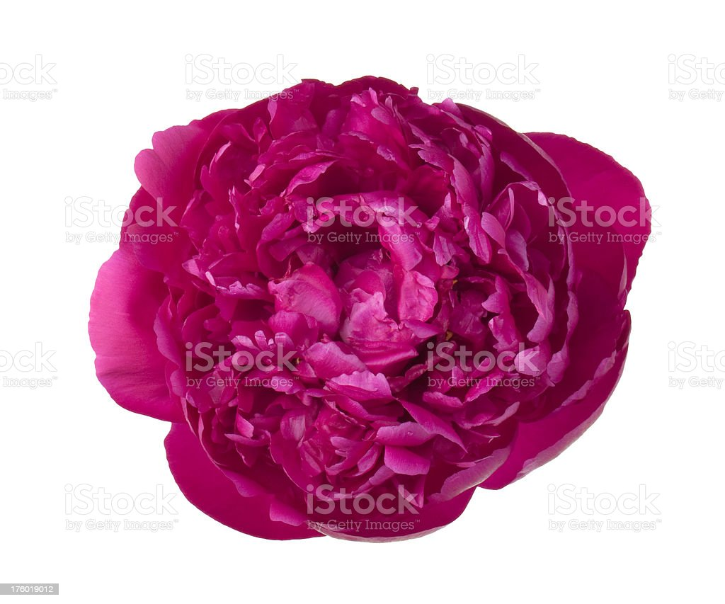 red peony royalty-free stock photo