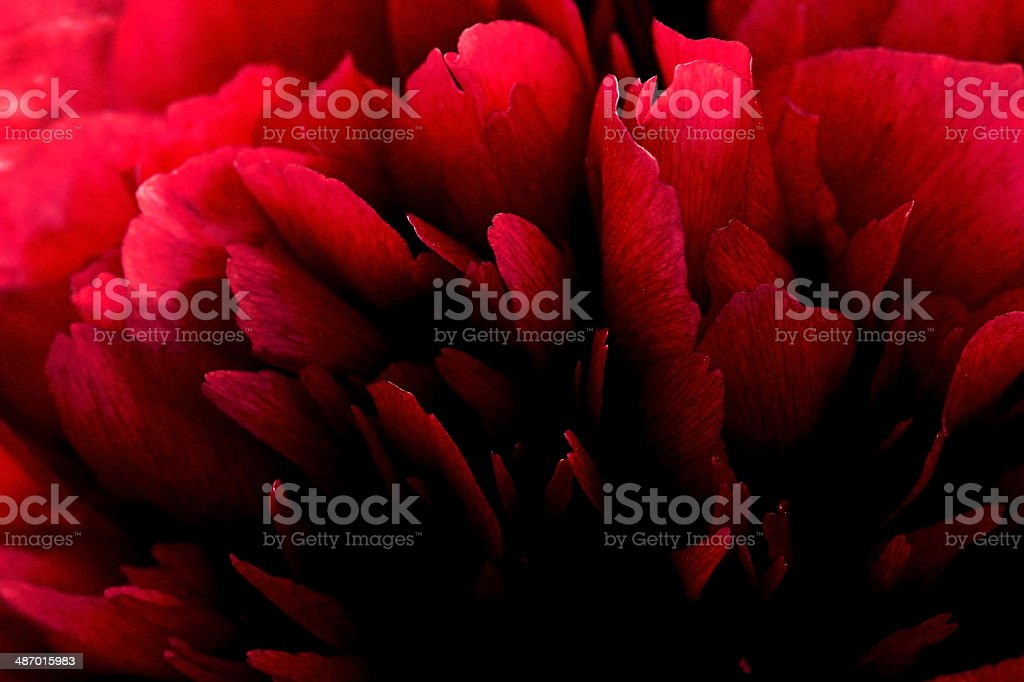 red peony stock photo