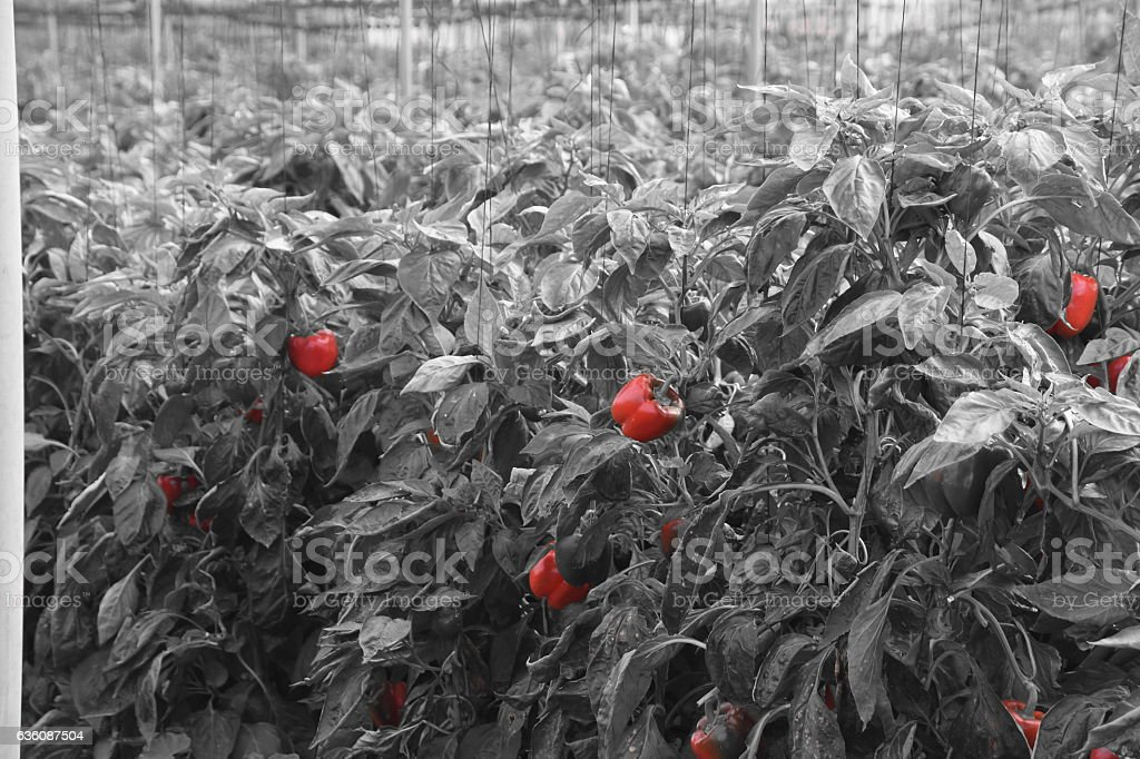 Red pepper Field stock photo