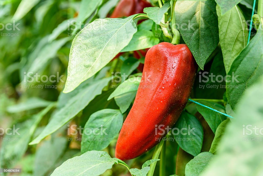 Red Pepper In Vegetable Garden stock photo