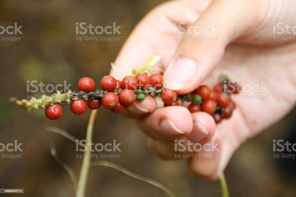 red pepper plant in woman?s hand royalty-free stock photo