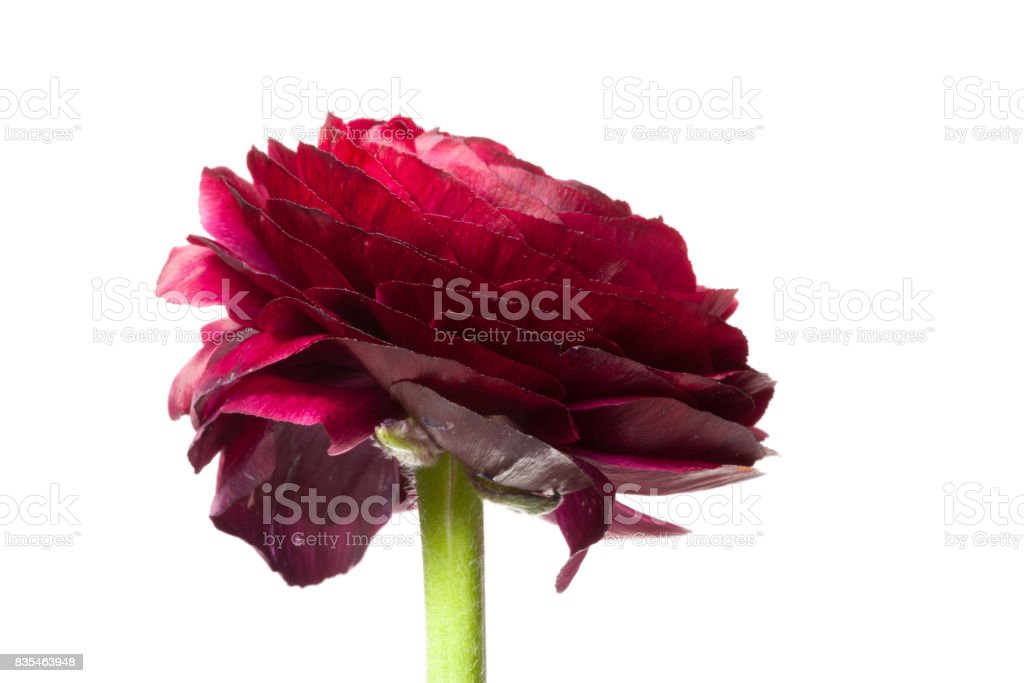 Red persian buttercup flower stock photo