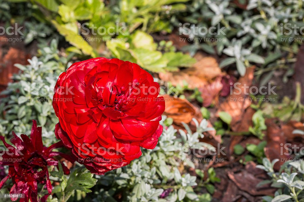 Red persian buttercup flowers (ranunculus). stock photo